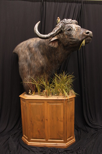 Image of an elongated taxidermy pedestal base from McGrath Woodworks, product code BEO-3228, from the Bighorn Series